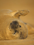 Grey Seal Pup Rolling on Sand  Lincolnshire  UK