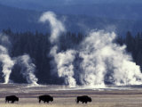 Landscape with Bison and Steam from Geysers  Yellowstone National Park  Wyoming Us