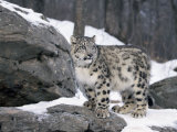 Juvenile Snow Leopard