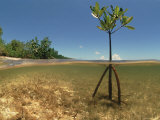 Young Mangrove Tree Sapling Split-Level Shot  Caribbean