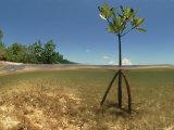 Young Mangrove Tree Sapling Split-Level Shot  Caribbean