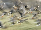 White Fronted Geese  Taking off from Field  Europe