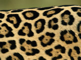 Jaguar  Close-Up of Fur Pattern  Pantanal  Brazil