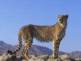 Portrait of Standing Cheetah  Tsaobis Leopard Park  Namibia