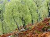 Native Birch Woodland in Autumn  Glenstrathfarrar Nnr  Scotland  UK