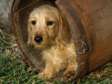 Wire Haired Dachshund  Portrait in Wooden Barrel
