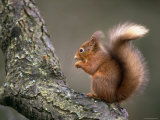 Red Squirrel  Angus  Scotland  UK