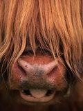 Highland Cattle  Head Close-Up  Scotland