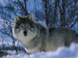 Grey Wolf Male in Snow  Norway