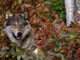 Grey Wolf Amongst Woodland Leaves  Minnesota  USA