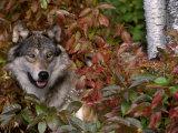 Grey Wolf Amongst Woodland Leaves  Minnesota  USA