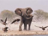 African Elephant  & Whitebacked Vultures by Waterhole  Etosha National Park  Namibia