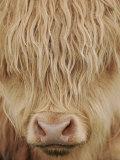 Face of Highland Catle  Scotland  UK
