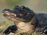 American Alligator Portrait  Florida  USA