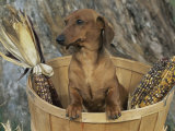 Smooth Haired Dachshund Dog (Canis Familiaris)