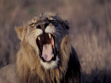 Male Lion Roaring (Panthera Leo) Kruger National Park South Africa