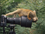 Squirrel Monkey  Investigates Camera  Amazonia  Ecuador