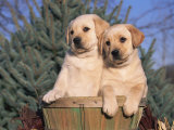 Golden Labrador Retriever Puppies  USA