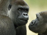 Two Western Lowland Gorillas Face to Face  UK