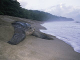 Leatherback Turtle Returning to Sea after Laying Eggs  Grand Riviere  Trinidad