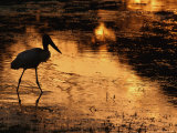 Silhouette of Jabiru Stork in Water  at Sunset  Pantanal  Brazil