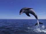 Bottlenose Dolphin Leaping, Bahamas Papier Photo par John Downer