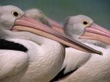 Australian Pelicans  Queensland  Australia