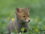 Red Fox Cub at a Rehab Centre  Scotland  UK