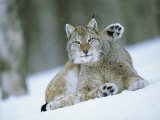 European Lynx Male Grooming in Snow  Norway