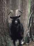 Feral Goat Male in Pinewood (Capra Hircus)  Scotland