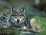 Young European Grey Wolf Resting  Norway