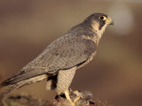 Peregrine Falcon Female (Falco Peregrinus)  Subspecies Brookei from Southern Europe