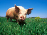 Domestic Pig Portrait  Yorkshire Breed