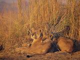 Lions Basking in Sun  Linyanti  Botswana