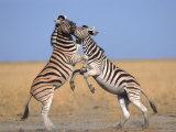 Common Zebra Males Fighting  Etosha National Park  Namibia