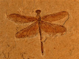 Fossil Insect  Dragonfly  Early Cretaceous  Brazil