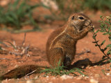 Cape Ground Squirrel Feeding  Kgalagadi National Park  South Africa