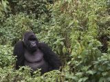Silverback Mountain Gorilla  Amongst Vegetation  Zaire