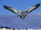 Cape Gannet Landing  Lamberts Bay  South Africa
