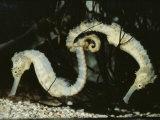 Yellow Seahorses (Hippocampus Guttulatus) Mediterranean