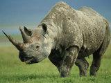 Black Rhino Portrait  Ngorongoro Nr  Tanzania