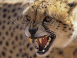 Cheetah Snarling (Acinonyx Jubatus) Dewildt Cheetah Research Centre  South Africa