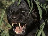 Melanistic (Black Form) Leopard Snarling  Often Called Black Panther
