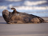 Grey Seal Lying on Beach  UK