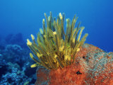 Yellow Featherstars on Sponge  Indo-Pacific