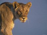 Lioness Portrait  Etosha National Park  Namibia