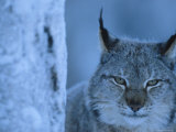 Lynx Portrait  Sweden