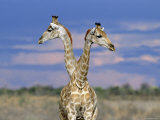 Giraffes (One or Two)  Etosha National Park  Namibia
