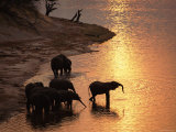 African Elephants Drinking in Chobe River at Sunset  Botswana  Southern Africa