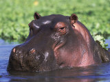 Hippopotamus Head Above Water  Kruger National Park  South Africa